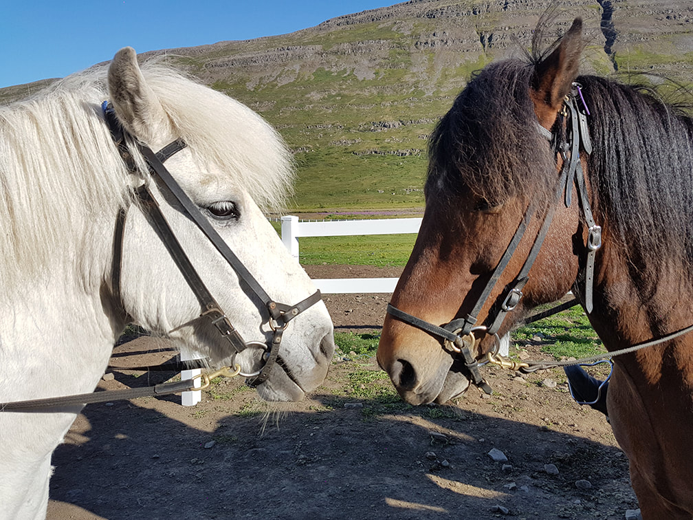 Two Icelandic horses, left one is white, the right one is brown